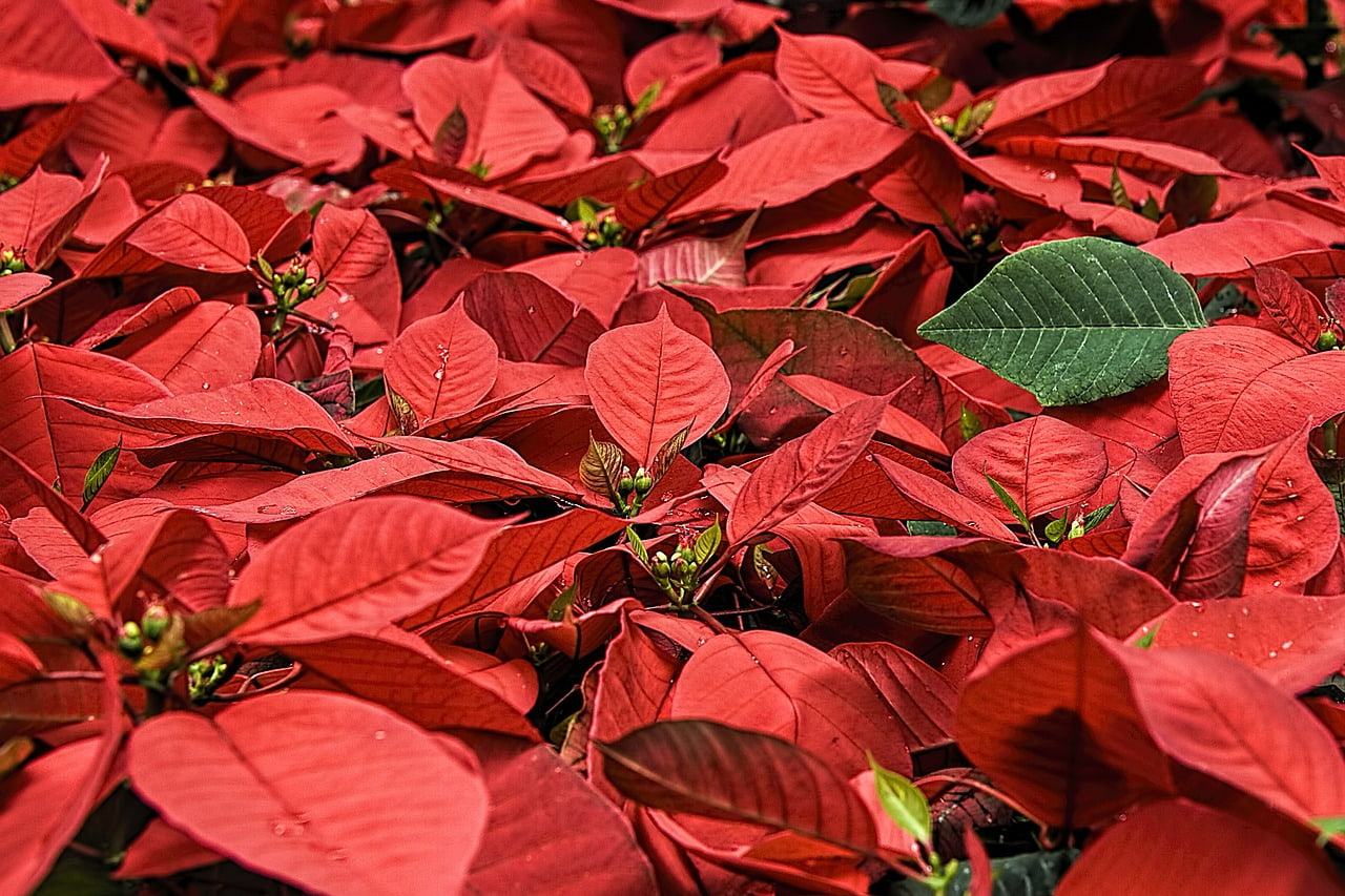 A Little History and Care For The Poinsettia